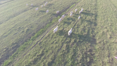 2.7K AERIAL SHOT OF A FLOCK OF COW RUNNING Stock Footage