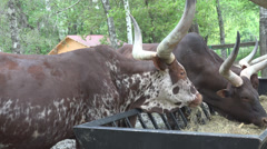 Ankole Watusi Bulls, Longhorn Cattle Feeding, Eating Forage, Bullock, Ox Farming Stock Footage