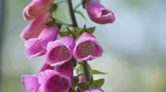 Purple Foxglove (Digitalis) plant in a garden in Hampshire, England Stock Footage