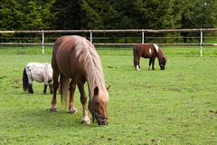 Horse and pony in the meadow in the paddock - stock photo