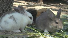 White Rabbit, Bunny Eating Grass, Hare, Guinea Pig Feeding in Yard, Farming Stock Footage