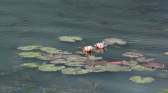 Rose water lilies Stock Footage