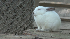Cute White Rabbit, Bunny, View of Sleepy Hare Resting in Yard, Garden, Farming Stock Footage