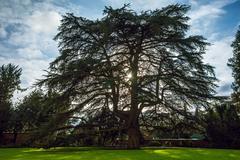 Stock Photo of cedar, weinheim, castle garden