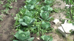 Cabbage beds in the garden Stock Footage