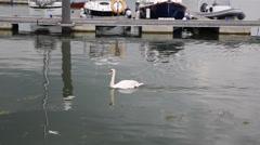 Swan swimming Lymington harbour Hants Stock Footage