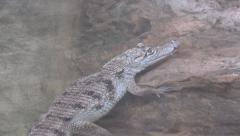 Nile Crocodile Baby, Alligator Resting in Water, Crocodylus Niloticus Stock Footage