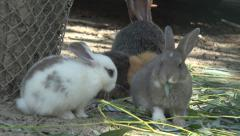 White Baby Rabbit, Bunny Eating Grass, Hare, Guinea Pig Feeding in Yard, Farming Stock Footage