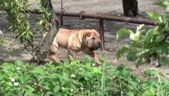 Pedigree puppy in the garden trekking shot Stock Footage