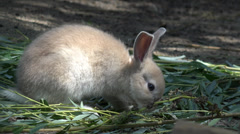 Ultra HD 4K Rabbit, Bunny Family Eating Grass, Playing Baby Hare, Yard, Farming Stock Footage