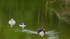 White and black ducks swimming in pond. Video Stock Footage