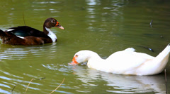 White and black ducks in pond washes, spread their wings. Approximate video Stock Footage