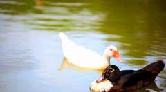 B & w ducks swimming in pond. change of focus from one to the other. Video Stock Footage