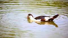 B & w duck lowers his head into the pond and swims. Video Stock Footage