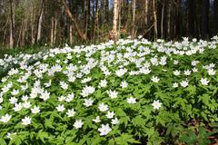 big patch of wood anemone - stock photo