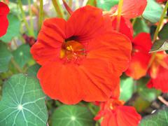 orange nasturtium (tropaeolum majus) - stock photo