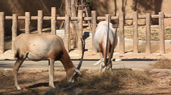 The common eland  also known as the southern eland or eland antelope Stock Footage