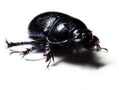 Forest dung beetle Stock Photos
