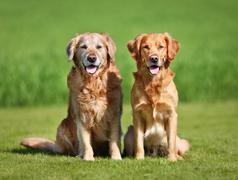 Two golden retriever dogs Stock Photos