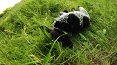 Spotted dog having fun in grass Stock Footage