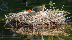 Coots water bird Breed period baby Chicks wait to be fed in nest - stock footage