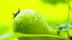 Pear tree. raindrops on leaves. Stock Footage