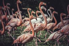 Group of flamingoes with long necks and beautiful plumage Stock Photos