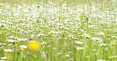 spring field with marguerite flowers - stock photo