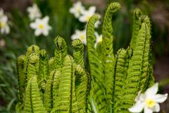 Young shoots of fern curl into a helix Stock Photos