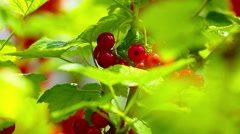 Closeup of redcurrant berries on bush in orchard. Shallow focus depth on berries Stock Footage