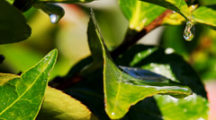 Water dripping off green leaves Stock Footage