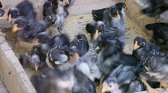 Hungry newborn black baby chickens organic food,poultry raising,traditional farm Stock Footage