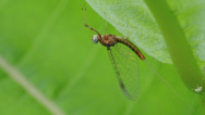 Stock Video Footage of Mayfly (Maccaffertium sp.) 1