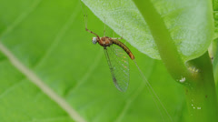 Mayfly (Maccaffertium sp.) 2 Stock Footage