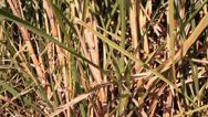 Stock Video Footage of Crop ready for harvest