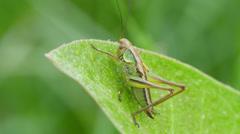 4K Roesel's Katydid (Metrioptera roeselii) Nymph 1 Stock Footage
