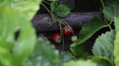 Organic strawberries garden, homegrown, traditional farming, ripe fruits Stock Footage