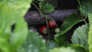 Stock Video Footage of Organic strawberries garden, homegrown, traditional farming, ripe fruits