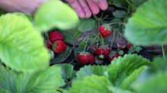 Organic strawberries, homegrown, farmer picking fresh ripe fruits, garden Stock Footage