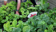 Stock Video Footage of Organic strawberries, homegrown, farmer picking fresh ripe fruits, garden