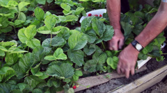 Strawberries harvest, farmer, organic farm, traditional farming, local fruits Stock Footage
