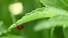 Coccinellidae ladybug eating leaf Stock Footage