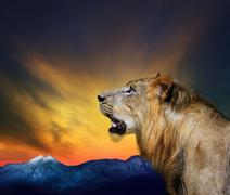 side view close up head shot of young lion roar against beautiful dusky sky a - stock photo