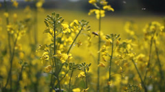 Rapeseed flowers  with insect Stock Footage