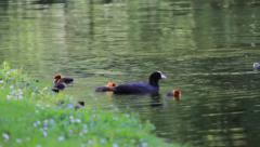 A Family of Eurasian Coots Stock Footage