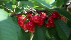 Bunch of ripe cherries on a branch cherry tree, delicious fruits, close up Stock Footage