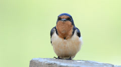 Close up of a Barn swallow singing Stock Footage
