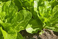 lettuce plants - stock photo