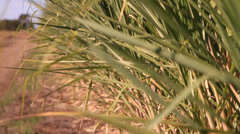 Sugar cane leaves in the breeze - stock footage