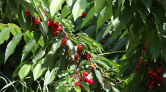 Cherry tree branch against the sky, delicious cherries fruits, orchard, harvest Stock Footage